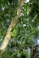 Árvore do chá