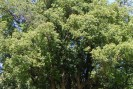 Ravintsara ou cânfora Madagascar