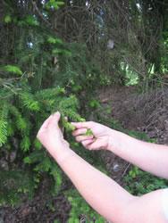 Broto de pinheiro