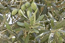 azeite de oliva para pela seca