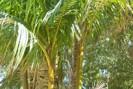Açaí Planta típica Brasil