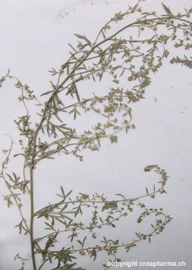 losna-planta