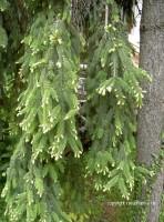 Xarope de brotos de pinheiro uso