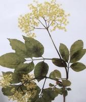 Xarope de flores de sabugueiro uso