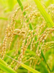 arroz resumo