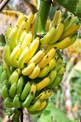 Banana número de calorias