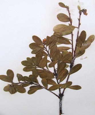 Foto do uva-ursi seco