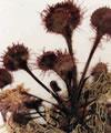 planta medicinal rorela