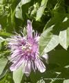 Infusão de passiflora uso