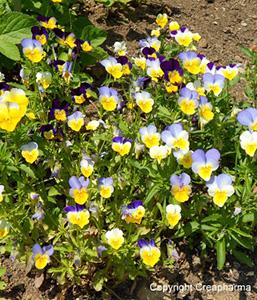 Viola tricolor Indicações