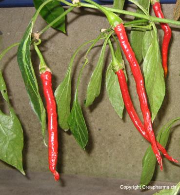 Planta medicinal pimenta-malagueta