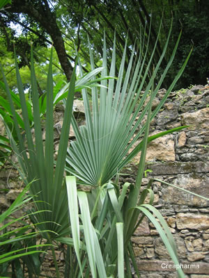 fitoterapia Saw Palmetto