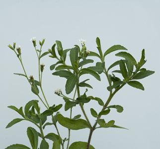 Stévia planta medicinal