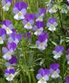 Viola tricolor resumo