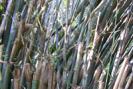 Bambu Japão