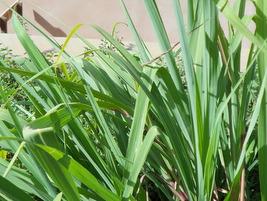 Plantas medicinais Bauru