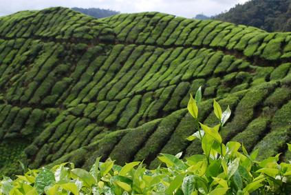 Chá (chá preto, verde, branco) China